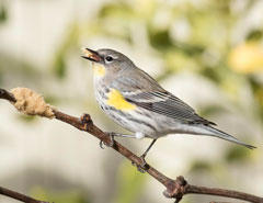 Yellow-rumped warbler - S. Hunt