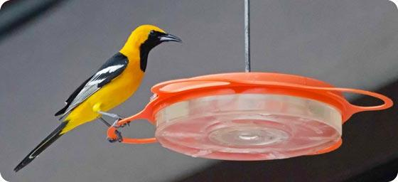 Hooded Oriole - Susie Kelly