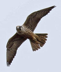 Peregrine Falcon - Don Bartling