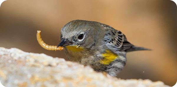 Yellow-rumped warbler by S. Hunt