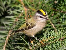 Golden-crowned Kinglet - Mick Thompson