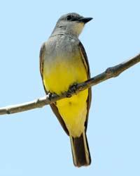 Western Kingbird - Matt Knoth