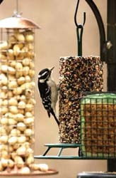Downy Woodpecker on Seed Cylinder