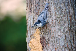 Nuthatch on Bark Butter