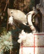 Titmouse with Nesting Material