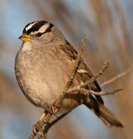 White-crowned Sparrow - Mike Baird