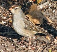 First Winter White-crowned Sparrow