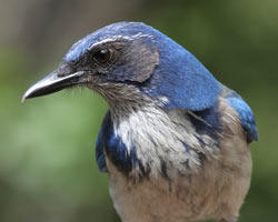 Scrub-Jay by Risa George