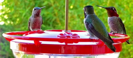Anna's Hummingbirds